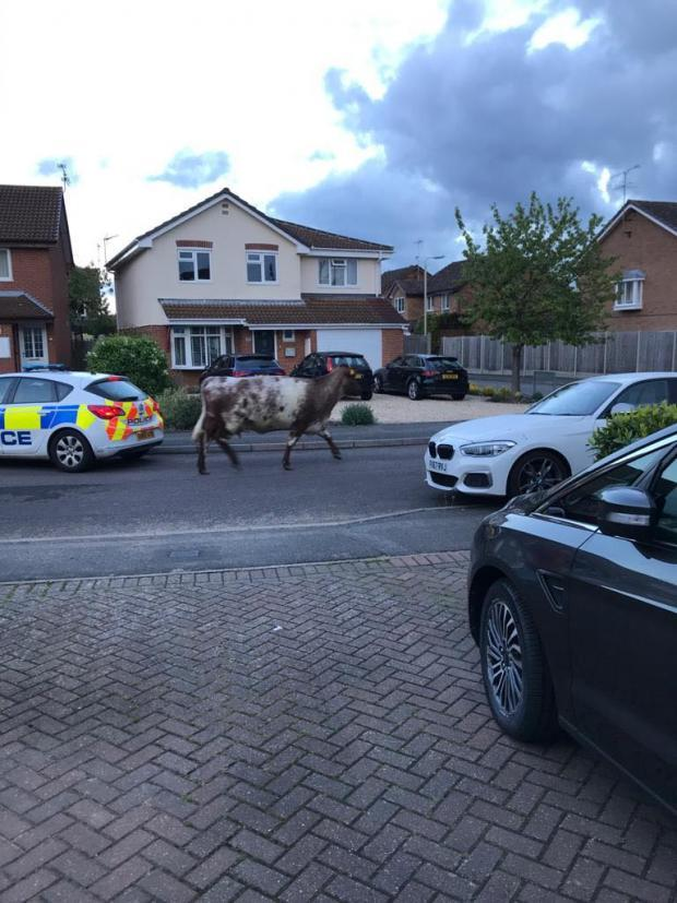 Slough Observer: The runaway cow